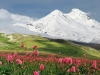 Nature___Mountains_Flowers_on_a_background_of_mountains_082309_22